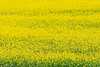 Rapeseed Flowers (oeyvind) Tags: tibet amdo 中国 青海 中國 西藏 qinghai chn 安多 བོད་ ཨ༌མདོ 共和县 共和縣 gonghecounty
