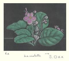 African violet (Japanese Flower and Bird Art) Tags: flower art japan modern print japanese african violet gesneriaceae ionantha intaglio shigeru saintpaulia oda readercollection