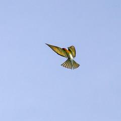 Chestnut-headed Bee-eater (arnewuensche66) Tags: birds thailand vgel beeeater bienenfresser birdsofthailand chestnutheadedbeeeater meropsleschenaulti bayheadedbeeeater braunkopfspint