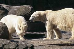Eisbären im Zoo Berlin