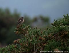 Stonechat (f) (Mike Jones Photos) Tags: bird female wildlife heathland rspb eastdevon stonechat saxicolarubicola nikond60 firebeaconhill
