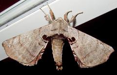 Spotted Apatelodes, Apatelodes torrefacta, Talking Rock (Seth Ausubel) Tags: moth apatelodidae