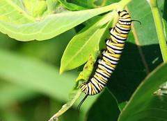 monarch caterpillar at Cardinal Marsh IA 854A7046 (lreis_naturalist) Tags: county butterfly cardinal reis iowa caterpillar larry monarch marsh winneshiek