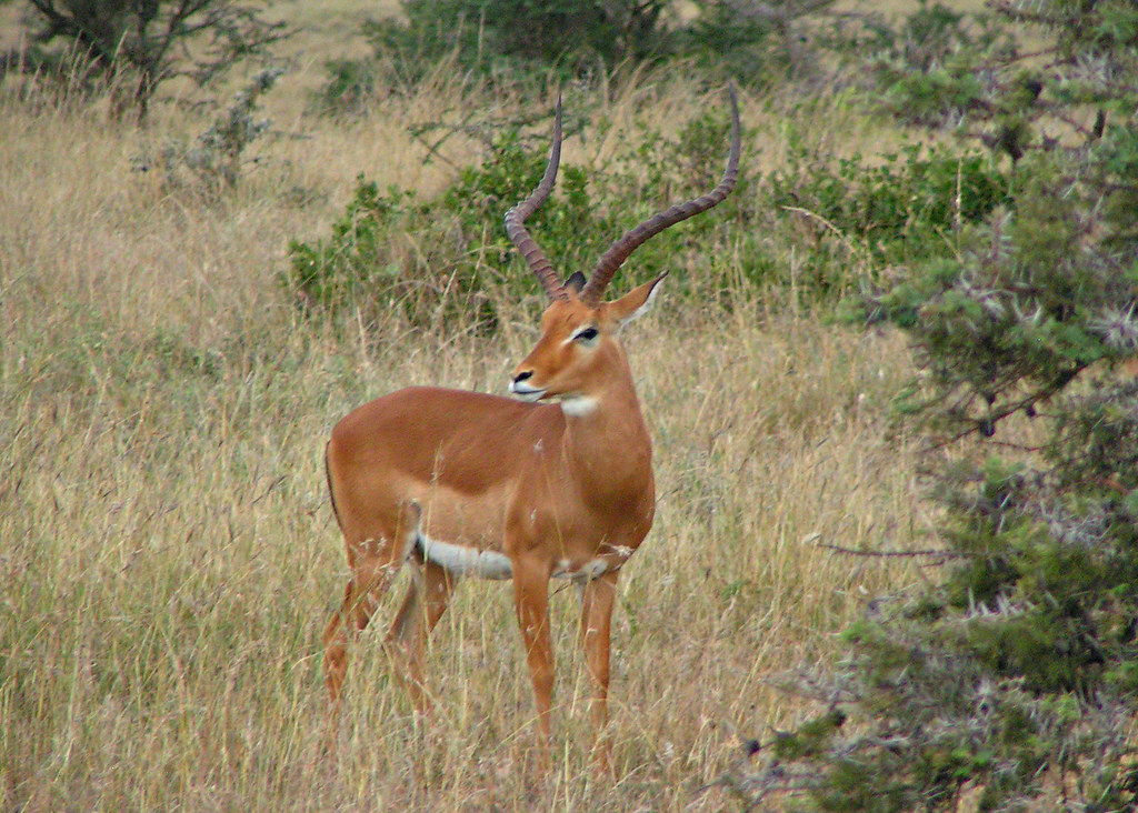 the world 39 s best photos of africa and impala flickr hive. Black Bedroom Furniture Sets. Home Design Ideas