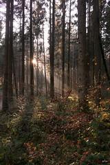 Sonnenstrahlen im Wald beim Schwenninger Moos 1/2