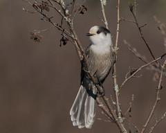 Merry Christmas Gray Jay! (evilpigeon777) Tags: merry christmas gray jay bloomingdale bog adirondack park new york national bird canada pinecone