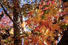 Los Angeles County Arboretum (Danielle_M_Bedics) Tags: leaves foliage laarboretum arboretum wildlife plants animals peacock nature garden leaf fallfoliage winter orange green red yellow blue sky bark branch sunlight sun feathers trunk tree trees flowers flower grass plant ginkgobiloba ginkgo december autumn solstice