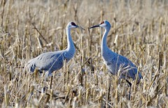 Sandhill Cranes (Grus Canadensis) (jageshwarb2) Tags: sandhillcranes gruscanadensis nature nikon sandhill cranes wildlife cornfield bird nikonpassion fantasticnature fantasticwildlife