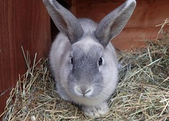 Another bun looking for a home (rjmiller1807) Tags: bun bunny kaninchen harwell oxfordshire rspca november 2016 rspcaoxfordshire pawsnclaws cute lookingforahome sheltershot