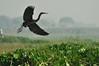 DSC_0534 (Suman_1976) Tags: birds nikond700 nature 300mmf4 14eii wildlife chupichar migratory