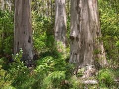 Charakterbäume, Porongurup NP (bayernphoto) Tags: porongurup nationalpark australien westaustralien wa np national park wald forest bäume trees karri gum farn fern gruen green