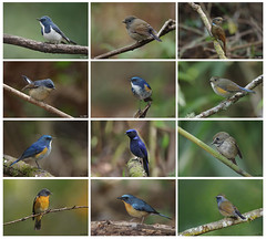 Flycatchers collection for Year 2016 (Ken Goh thanks for 2 Million views) Tags: hill blue flycatcher slaty back ultramarine white gorgeted rufous male female veriditer large niltava himalayan tail creamy green clean background perch wild avian cute pose sigma 500 f45 pentax k3