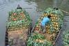 Arranging pineapple for carrying! (ashik mahmud 1847) Tags: bangladesh d5100 nikkor water rivrer boat people transport pattern fruits carry man pineapple ananascomosus bromeliaceae