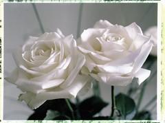deux roses… (JJ_REY) Tags: roses fleurs flowers bouquet instantfilm fuji fp100c45 largeformat 4x5 peelapart colors toyofield 45a rodenstock sironarn 150mmf56 availablelight lumièrenaturelle colmar alsace france