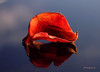 Floating Rose Petal ... (MargoLuc) Tags: red rose dried petal flower reflection blue sky table cold winter days stilllife light
