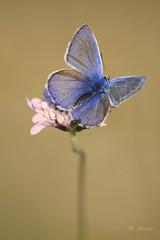 Argus bleu 13470 (philippe.poussibet) Tags: morières gps439497524913458 argusbleu