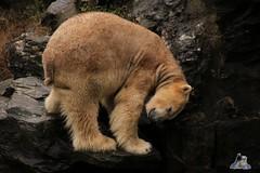 Tierpark Berlin 26.12.2017 048 (Fruehlingsstern) Tags: eisbär polarbear wolodja rothund nashorn stachelschwein tierparkberlin canoneos750 tamron16300