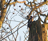 Great Spotted Woodpecker (kevinwolves) Tags: greatspottedwoodpecker woodpecker bird baggridgecountrypark baggeridge nature wildlife kevinwolves nikon nikond300 nikon55300mmvr kenko kenkoteleplus14x