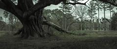 Windsor Ruins (Rodney Harvey) Tags: abandoned plantation ruins windsor mississippi live oak tree grand south