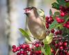 Cedar Waxwing (Becky Matsubara) Tags: richmond california unitedstates us cedarwaxwing waxwing meekerslough pointisabel birds toyonberries toyon bombycillacedrorum