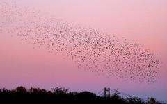 Starling Murmuration (robin denton) Tags: lincolnshirewildlifetrust farings starling starlings murmuration humberbridge lincolnshire nature wildlife sunset skyscape sky wildlifetrust