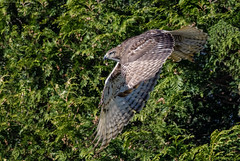 Juvenile Red-tailed Hawk. (Wes Aslin) Tags: redtailedhawk abbotsford britishcolumbia canada raptor predator avian bird buteojamaicensis