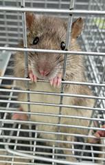 criminal (Mycophagia) Tags: rat rattusnorvegicus brownrat commonrat