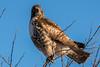People Watching Red Tailed Hawk (MelRoseJ) Tags: dorris california unitedstates sonyalpha sal70400g sony sonyilca77m2 a77ii alpha autofocus nature klamathwildliferefuge redtailedhawk hawk