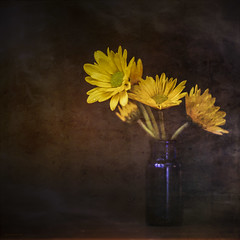Mums the Word 7DWF (jm atkinson) Tags: purple mums texture light moody wooden table blue bottle yellow still tabletop dark flowers fresh 7dwflickr marcro close up