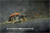 Springtail Survey (Ed Phillips 01) Tags: katiannidae genus nov1 sp nov mature adult female saa collembola springtail mpe macro staffordshire