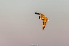 ShortEaredOwl-0004.jpg (vorneo) Tags: birdofprey shortearedowl seo bird wild classaves orderstrigiformes familystrigidae genusasio phylumchordata speciesaflammeus wildbird kingdomanimalia binomialnameasioflammeus