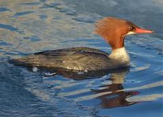 Common Merganser (steve_scordino) Tags: commonmerganser merganser duck red cuddypond anchorage bird