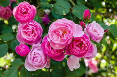 Twilight Princess (Explored Jan 3, 2017) (Huỳnh Anh Kiệt) Tags: explore spring eternal eternity kietbull blossoming blooming amaranth rose bokeh twilight princess pink colorful explored hammerfall tet springtime