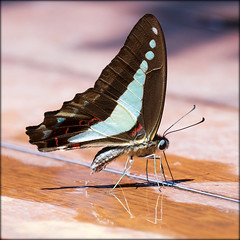 Blue Triangle Butterfly (jennospics) Tags: butterfly drinking squirting water bluetriangle