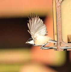 Black-capped Chickadee: the getaway (danstambaugh) Tags: nature paxtang pennsylvania pa audubon chickadee blackcapped bird backyard birdfeeder