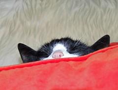 Do not disturb (salsellen) Tags: cat pillow sleep cute orange feline mindfulness fur peace gato hellopussycat