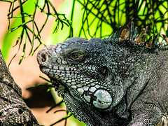 """An-28w (1% busy; 99% lazy ...) Tags: animals reptile lizard nature """"natural beauty"""" photography """"zoo park"""" zoo canon photograph captiveanimals specanimal"""