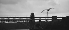 In Flight (natalie_thomas) Tags: bridge bird animal flying seagull anglesey britanniabridge