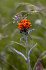 Snon ttard (mikxel) Tags: wild flower macro canon ttard tamron90mm 6d snon