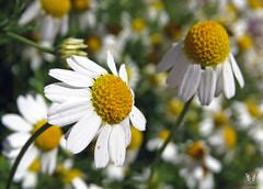 Chamomile Flowers (Swallowtail Garden Seeds) Tags: flowers white macro explore santarosa herb chamomile explored swallowtailgardenseeds