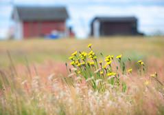 Råå, June 19, 2015 (Ulf Bodin) Tags: flower yellow landscape se skåne sweden outdoor sverige boathouse scania helsingborg råå skånelän båthus canonef70200mmf28lisiiusm canoneos5diii