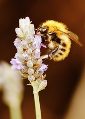 Bee on lavender (dlanor smada) Tags: bees lavender bumblebees commoncarderbees