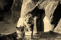 Belle-Epoque 2015 (MrTDiddy) Tags: male female cat mammal zoo big kat feline leo african lion bigcat belle antwerp antwerpen zooantwerpen grote caitlynn nestor leeuw panthera belleepoque mannelijk epoque vrouwelijk zoogdier afrikaanse grotekat