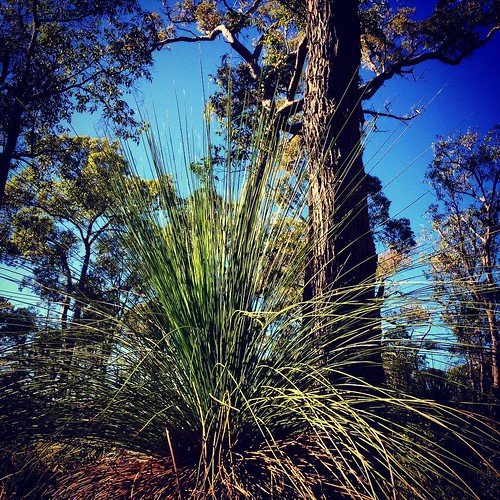 So many beautiful Grass Trees in #perthhills #grasstree #Xanthorrhoea