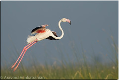 Greater Flamingo (Aravind Venkatraman) Tags: 2015 avfotography aravind aravindvenkatraman bird birdphotographer birdphotography birder birds birdsofchennai birdsofindia canon canon14tc canon1dmkiv canon500mmf4 dslr indianbirds kutch greater flamingo greaterflamingo phoenicopterus roseus phoenicopterusroseus