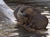 Coypu bunch drying off (aniko e) Tags: coypu waterrat nutria biberratte hódpatkány wildpark wildparkpoing poing water fur ecosystem mammals mocsárihód swim rodent