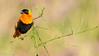 Linear Perch (Wideangle55) Tags: 600mm nikon14teleconverter northernredbishop redbishop bishop wideangle55 nikon d800 san joaquin marsh wildlife sanctuary colors birds