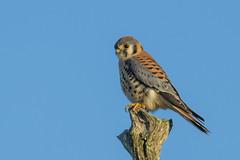 Perch and Search (Explored 1/11/17) (opheliosnaps) Tags: wild falcon kestrel blue perch spotted bird orange grey closeup tree stump american nature serene