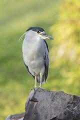 Black-crowned Night Heron (Peter Stahl Photography) Tags: blackcrownednightheron nightheron heron maui hawaii bird outdoors