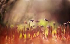Fire! (marielledevalk) Tags: moss red nature macro detail winter blur dof bokeh